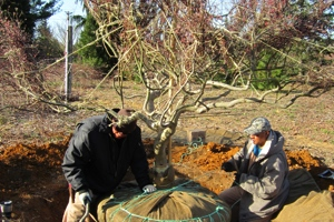 Digging Cutleaf Japanese Maples